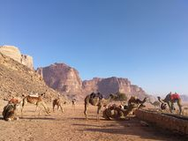 Camels in desert stock images