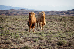 Camels in desert of Kazakhstan Stock Photography