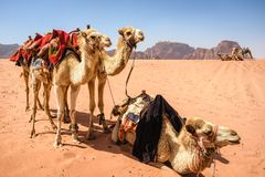 Camels in desert landscape under blue skies. In Wadi Rum Jordan stock photo
