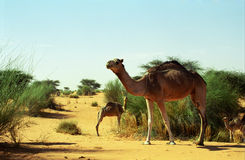 Camels in the desert, Mauritania. Camels are abundant in the Sahara, these one have been photographed in the Mauritanian side of the desert Royalty Free Stock Images