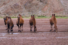 Camels in the desert in Mongolia stock photo