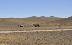 Camels in the desert,Morocco royalty free stock photo
