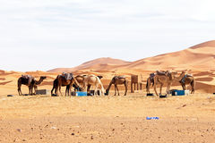 Camels in the  desert Stock Image