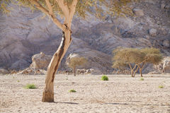Camels, desert, mountains and acacia trees Royalty Free Stock Photos