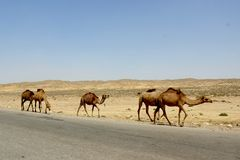 Camels in desert near ancient city of Merv, Turkmenistan Royalty Free Stock Image