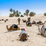 Camels in the desert oasis Royalty Free Stock Photo