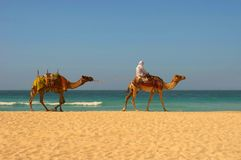 Camels, desert and ocean Royalty Free Stock Photos