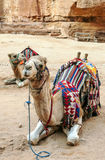 Camels in the desert of Petra Royalty Free Stock Photography