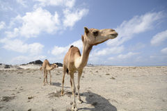 Camels on a desert Royalty Free Stock Image