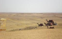 Camels  desert. Camels resting in desert,background concept Stock Image
