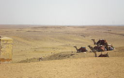 Camels  desert Stock Image