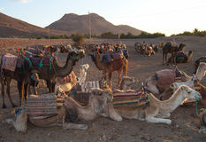 Camels in the desert. Camels resting in the desert of Marrakesh Royalty Free Stock Photography