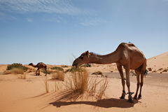 Camels in desert Sahara. Camels at dune in desert Sahara in Morocco royalty free stock images