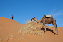Camels in desert Sahara. Camels at dune in desert Sahara in Morocco royalty free stock photography