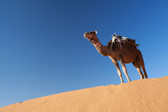 Camels in desert Sahara. Camels at dune in desert Sahara in Morocco stock photography