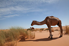 Camels in desert Sahara. Camels at dune in desert Sahara in Morocco stock images