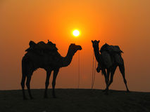 Camels in the desert at sunset Stock Photos