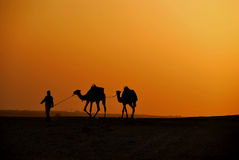 Camels in the desert at sunset Royalty Free Stock Images