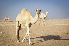 Camels in a desert Royalty Free Stock Image
