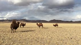 Camels in the desert of Western Mongolia mountains . Camels in the desert of Western Mongolia mountains in the background stock video footage