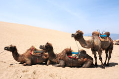 Camels in the deserts Stock Photo