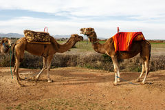 Camels in a dialog. Two camels in a dialog near Marrakesh Stock Photos