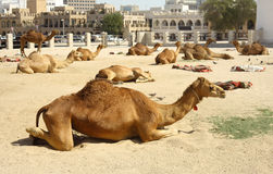 Camels in Doha Royalty Free Stock Image