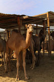 Camels at Doha market Stock Image