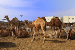 Camels at Doha market Stock Images