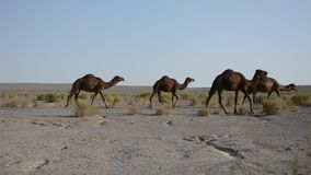 Camels in the desert, Iran stock video footage