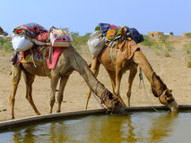 Camels dring from reservoir in a small village during camel safa Royalty Free Stock Image