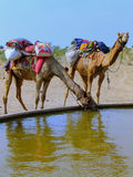 Camels dring from reservoir in a small village during camel safari, Thar desert, India stock photos