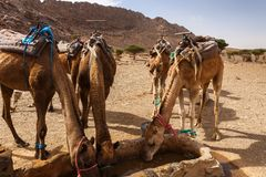 Camels drink water from the well. Camels drink water from a well in the Sahara desert, Morocco Royalty Free Stock Photos