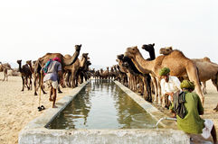 Camels drinking, Pushkar India Stock Images