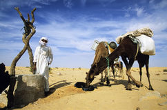 Camels drinking Stock Images