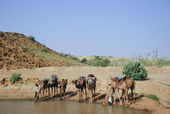 Camels drinking from desert oasis Royalty Free Stock Photography