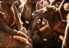 Camels Drinking at an Oasis en masse royalty free stock photography