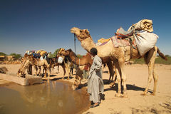 Camels drinking water Stock Image