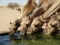 Camels drinking at a watering station in the Saudi Arabian desert stock photo