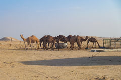 Camels dromedaries in the desert. A group of camels in the desert of Kuwait Stock Image
