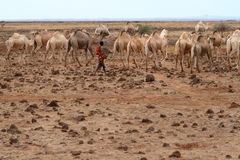 Camels and dromedaries. In Kenya Royalty Free Stock Photo