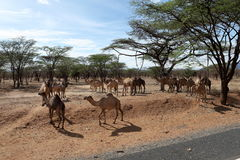 Camels and dromedaries in  Kenya. Camels and dromedaries in north of Kenya Royalty Free Stock Photos