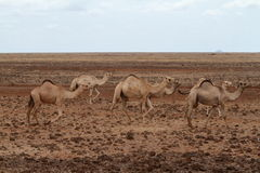 Camels and dromedaries. In the north of kenya Stock Photo