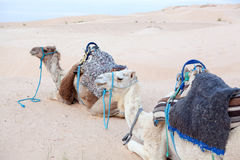 Camels dromedaries at rest in Sahara Royalty Free Stock Images