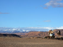 Camels and dromedaries. Dromedaries stop with the Atlas Mountains in the background Stock Photography