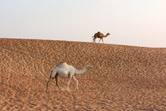 Camels in the Dubai Desert, United Arab Emirates royalty free stock images