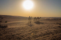 Camels in Dubai Royalty Free Stock Photo