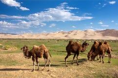 Camels dune desert - mongolia Stock Image