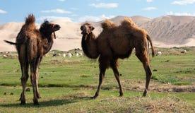 Camels dune desert - mongolia Royalty Free Stock Images