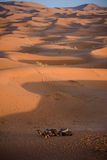 Camels at the dunes, Morocco, Sahara Desert Stock Photos
